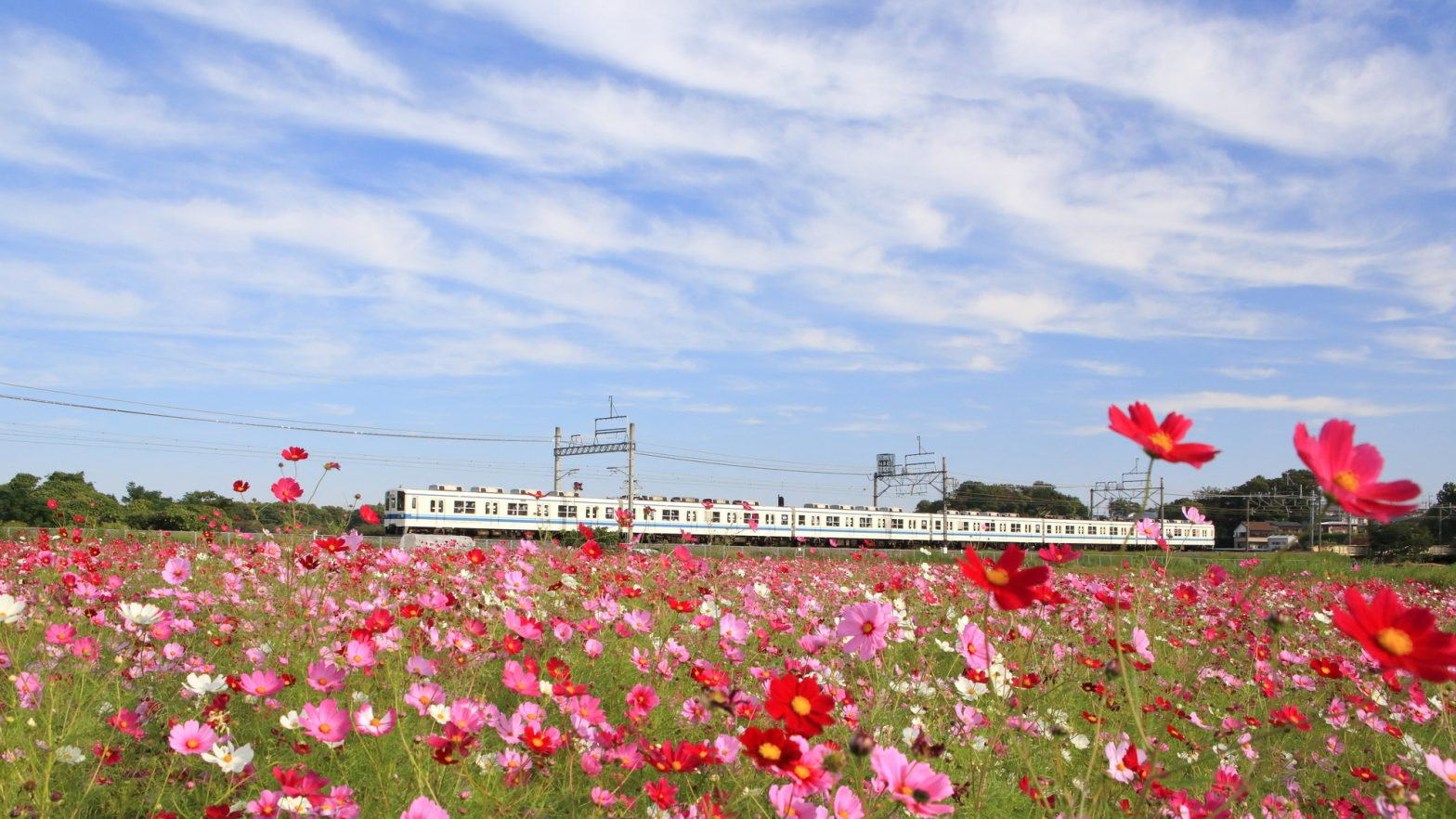 東武野田線とコスモス
