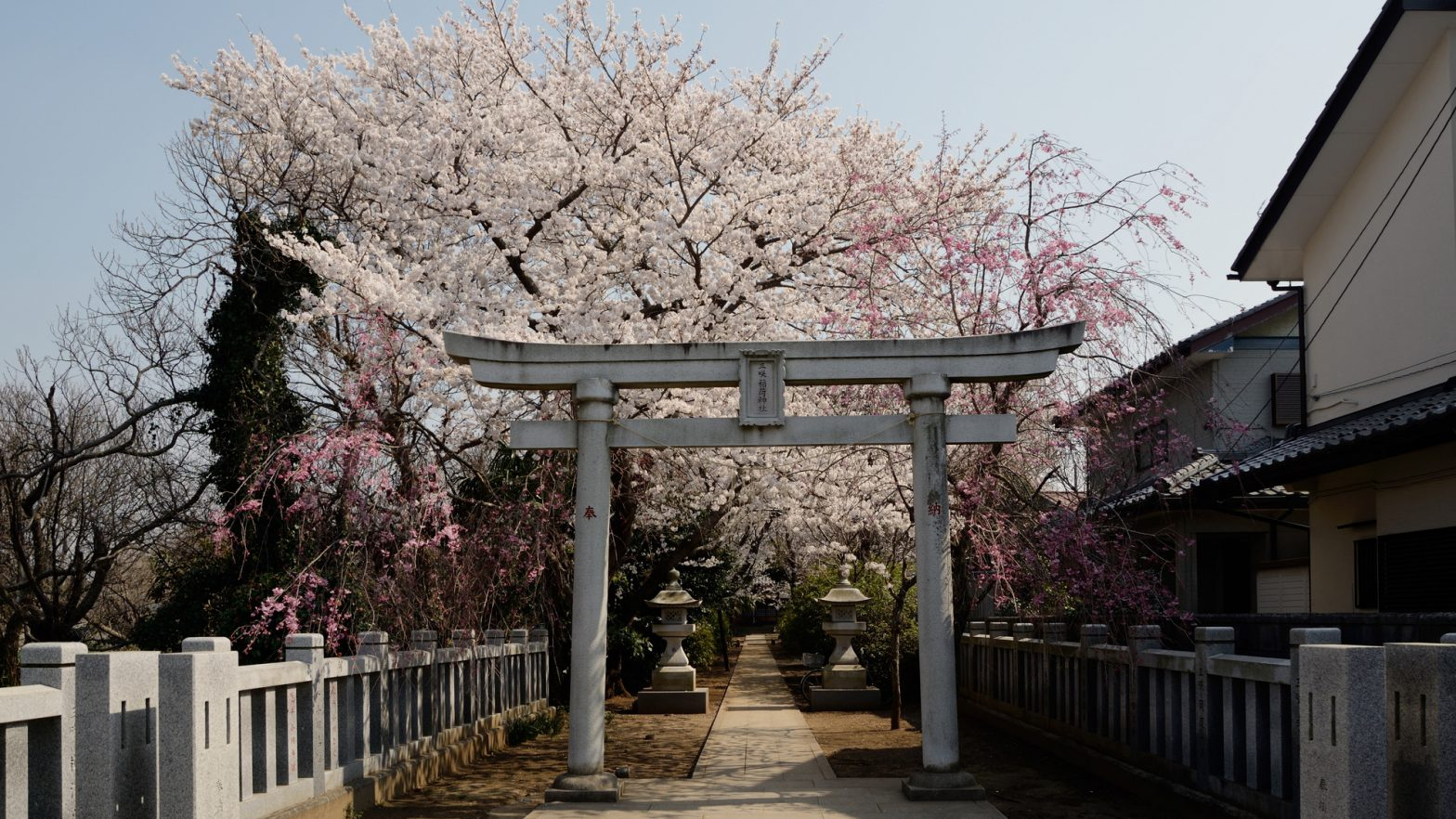 満開の桜の船橋市、三咲稲荷神社