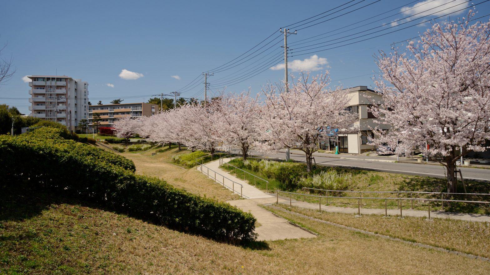桜満開の、船橋市高根台第一調節池